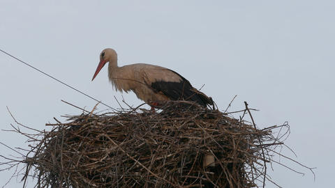 4K Ungraded: White Stork in Nest on Power Line Column Opens Its Beak in Rays Footage