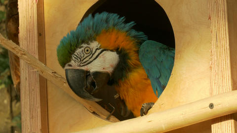 4K Ungraded: Blue-And-Yellow Macaw Parrot Hides in Birdhouse Window at Zoo Footage