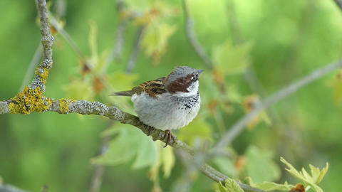 House Sparrow Sitting On A Branch Of Platane Tree And Chirping 画像