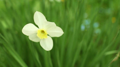 Delicate white flowers of daffodils Footage