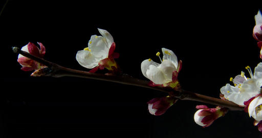 Time-lapse of blooming apricot tree branch Footage