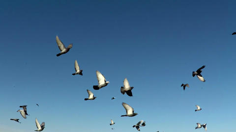 Flock of doves. A flock of birds against the sky. slow motion 120fps Footage