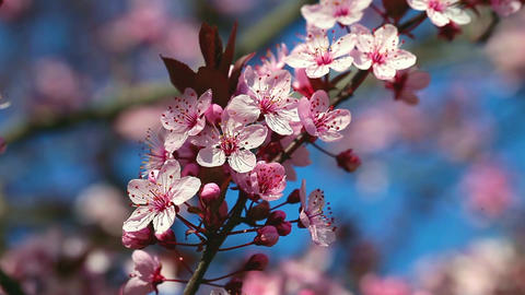 Spring Cherry blossoms, pink flowers 画像
