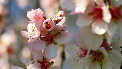 Spring Cherry blossoms, pink flowers Image