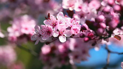 Spring Cherry blossoms, pink flowers Footage