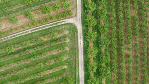 Aerial view of fruit tree plantation Footage