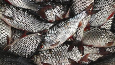 catch roach live fish Filmmaterial