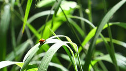 Ladybug (Coccinellidae) sit on grass Footage