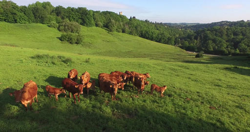 Limousines cows in a field near the castle of Châlucet, near Limoges, filmed by Footage