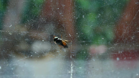 Gadfly cleaning wings and smell receptors, sitting on dirty window of old house Footage