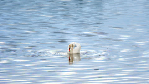 Majestic adult swan swim on smooth water level with sun reflections and sparkles Live Action