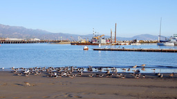 Seabirds on the shore of Santa Barbara Harbor Footage