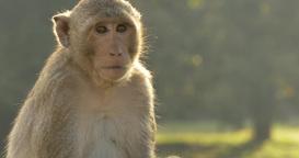 Year of the monkey - Monkey eating Angkor Wat Cambodia ancient civilization temp Footage