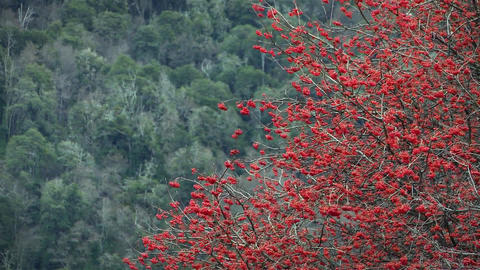 Red Flower Tree In The Mountains Footage