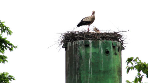 nest of storks Footage