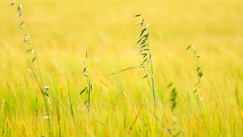 Detail of green oat grass growing in barley field. Field of ripening corn plants Live Action