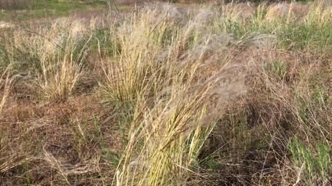 Steppe feather grass on a clear summer day Footage