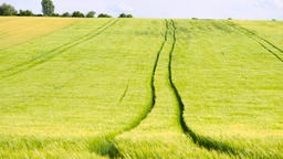 Trailed tractor tracks in young yellow green barley field. Ripening corn plants  Footage
