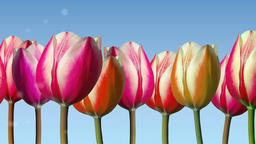 Line of tulips moved from side to side with soft cloudlets Animation