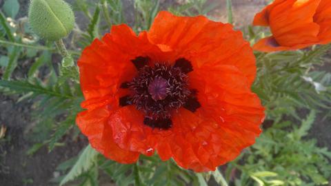 Poppy flower v2 Footage