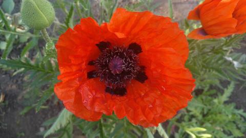 Poppy flower GIF