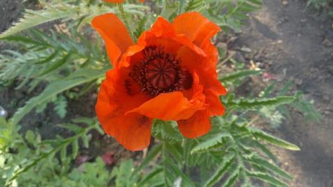 Bee on Poppy flower GIF