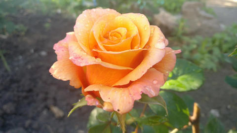 Multi colored rose in the garden GIF