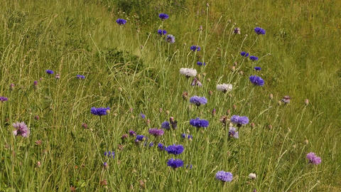 Cornflowers In Grass Image