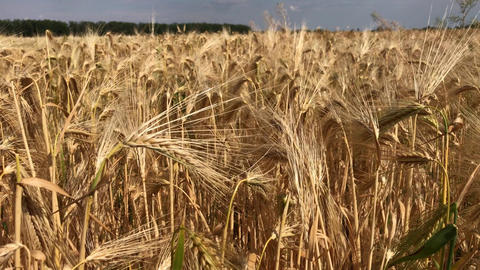 Ripe ears of wheat on a summer day Footage