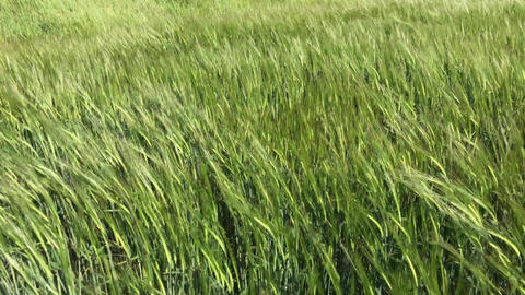 Green ears of wheat, agricultural field Filmmaterial