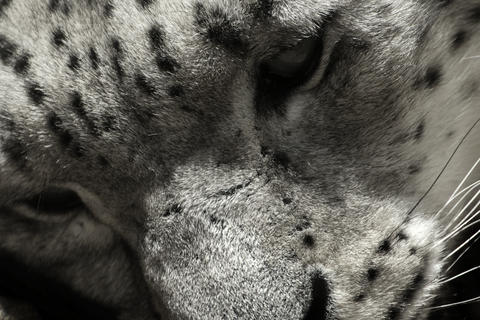 Black and white face snow leopard (irbis, Panthera uncia, Uncia uncia) Photo