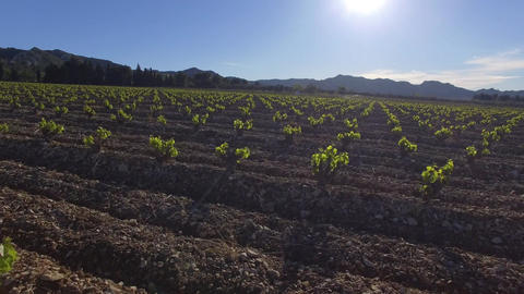 Champsde young vines, seen by drone Footage