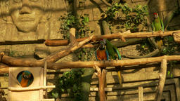 4K Ungraded: Macaws Sit on Perches in Zoo Against Stone Background With Green Footage