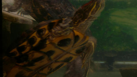 4K Ungraded: Two Red-Eared Slider Turtles (Trachemys Scripta Elegans) Swim in An Footage