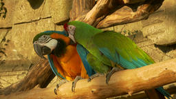4K Ungraded: Two Parrots Clean Each Other Feathers Sitting on Pole at Zoo Footage