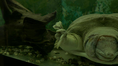 4K Ungraded: Chinese Softshell Turtle Swims and Croaks Behind Scratched Footage