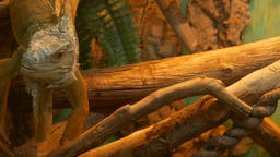 4K Ungraded: Green Iguana (Iguana Iguana) Crawls From Branch to Branch Inside Live Action