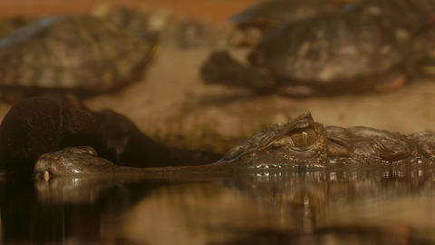4K Ungraded: Eye of Crocodile Cayman (Caiman Crocodilus) Looking Out Footage
