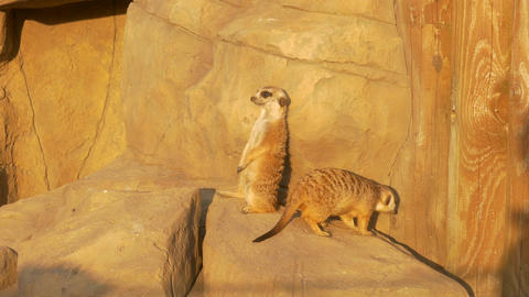 4K Ungraded: Meerkat Near Artificial Rock in Zoo Under Sun Looks At Footage