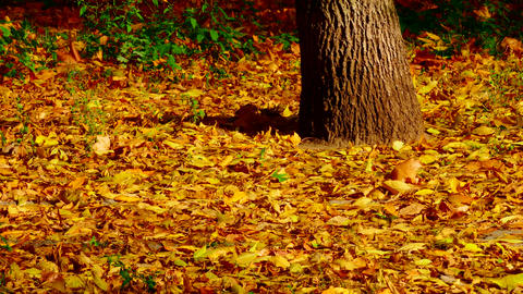 1080p Yellow Leaves of Maple and Oak Sway With Wind Next to Trunk of An Footage
