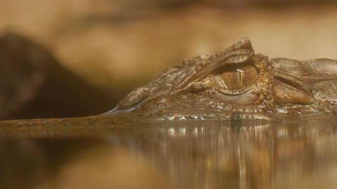 4K Ungraded: Eye of Crocodile Cayman (Caiman Crocodilus), Looking Out Footage