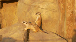 4K Ungraded: Two Meerkats Near Artificial Rock in Zoo Under Sun Footage