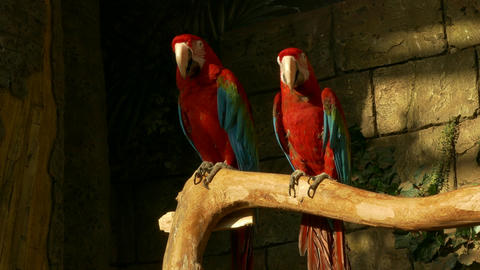 4K Ungraded: Two Green-Winged Macaws Sit on Perch in Zoo Against Stone Footage