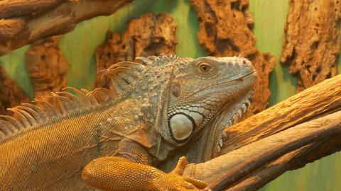 4K Ungraded: Green Iguana (Iguana Iguana) Lies on Branch Inside Terrarium Footage