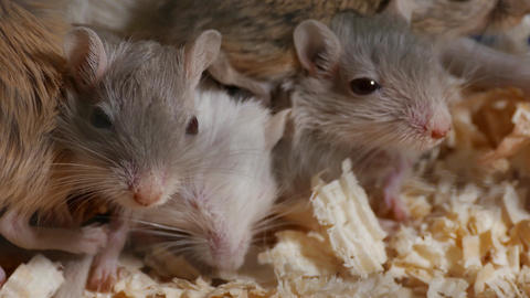 4K Ungraded: Mongolian Gerbils (Meriones Unguiculatus) Swarm in Cage With Footage