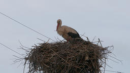 4K Ungraded: White Stork in Nest on Power Line Column Is Crouching in The Footage
