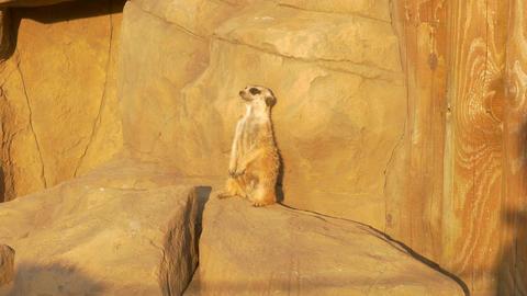 4K Ungraded: Meerkat Near Artificial Rock in Zoo Under Sun Looks At Footage