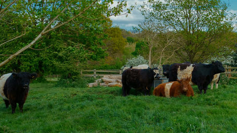 Woolly cows resting on a green pasture Footage