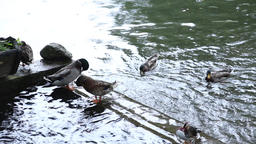 Wild ducks standing on a stone into water Footage