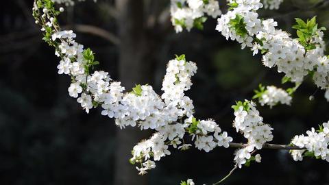cherry flowers blooming in springtime swinging in the wind Footage